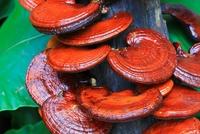 Как гриб рейши применяют для похудения?