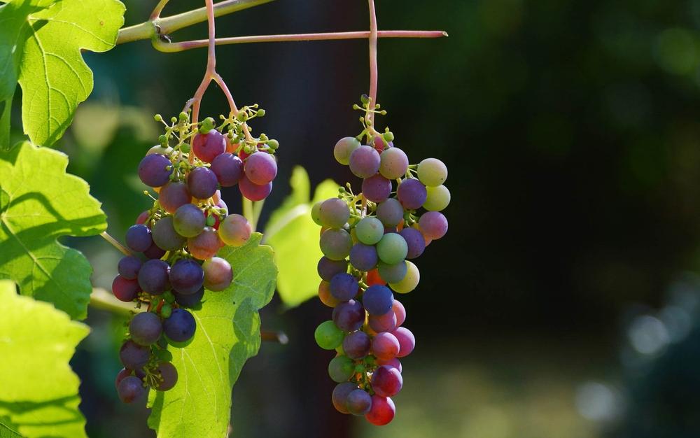 виноград польза и вред в том числе для беременных и детей