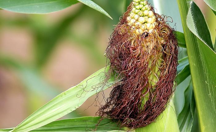 Как пить для похудения кукурузные рыльца?